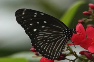 Můra a černý motýl článek