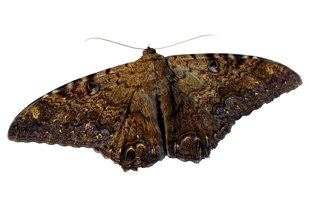 Můra a černý motýl