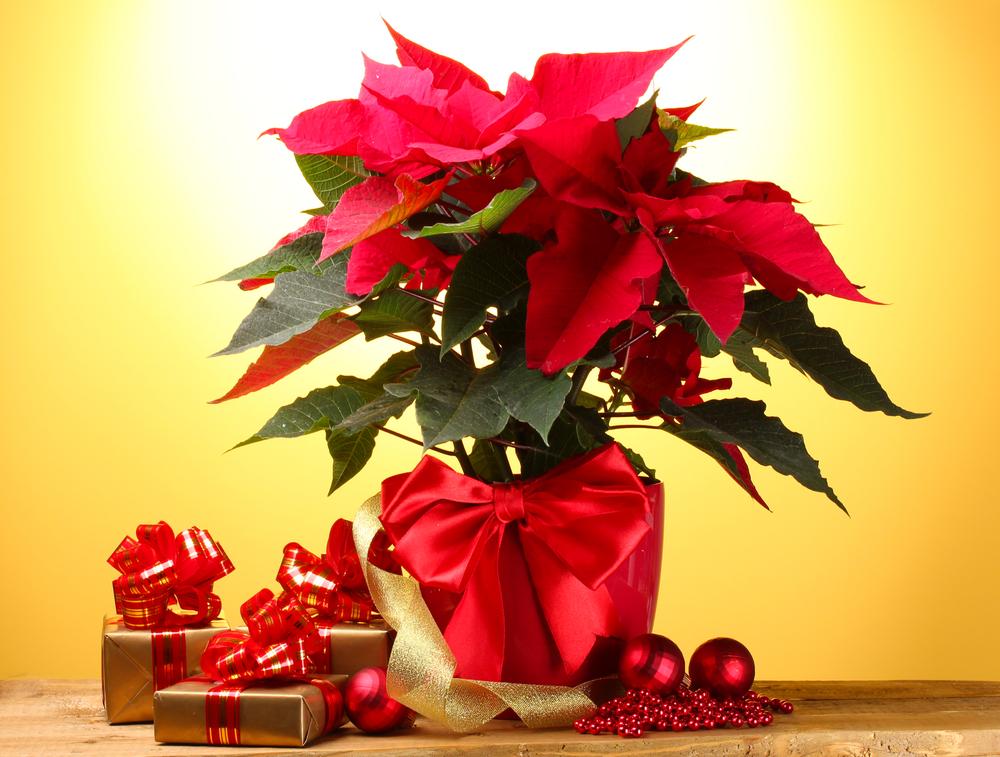 článek Vánoční hvězda